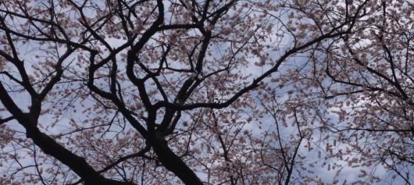 青空と豊年桜【吉田公生様撮影】